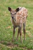 Cerfs communs de Bambi photographie stock libre de droits