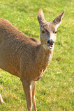 Cerfs communs de Blacktail Image stock
