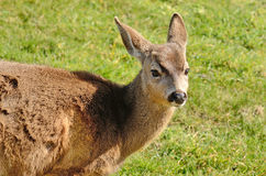 Cerfs communs de Blacktail Images libres de droits