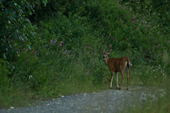 Cerfs communs de Blacktail Photo libre de droits