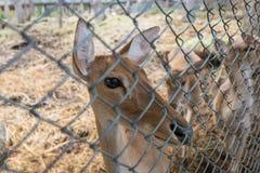 Cerfs communs de Brown Photographie stock