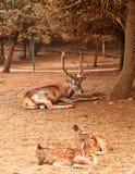 Cerfs communs de Brown avec de grands klaxons branchus photos libres de droits