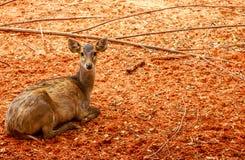 Cerfs communs de Brown dans le zoo Photos libres de droits