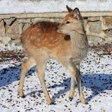 Cerfs communs de chéri Photos stock