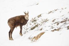 Cerfs communs de chamois à l'arrière-plan de neige Photo stock