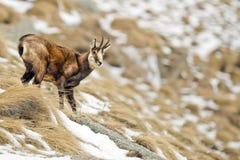 Cerfs communs de chamois à l'arrière-plan de neige Image stock
