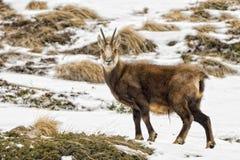 Cerfs communs de chamois à l'arrière-plan de neige Image libre de droits