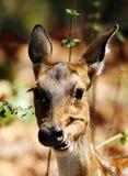 Cerfs communs de Cheetal mangeant les feuilles sèches Images libres de droits