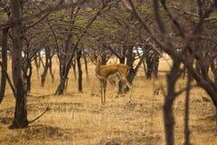 Cerfs communs de Chinkara ou gazelle indienne Réserve naturelle de Mayureshwar, maharashtra, Inde images libres de droits