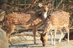 Cerfs communs de Chital Photos libres de droits