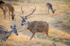 Cerfs communs de Chital Photo libre de droits