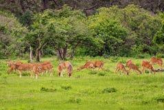 Cerfs communs de Chital - axe d'axe images stock