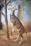 Cerfs communs de Chital, cerfs communs repérés, cerfs communs d'axe Image stock