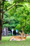 Cerfs communs de Chital, cerfs communs repérés, cerfs communs d'axe sur pleuvoir le jour Photo libre de droits