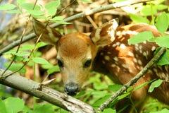 Cerfs communs de chéri marchant dans les bois Photographie stock libre de droits