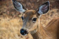 Cerfs communs de Colombie Blacktail Images stock