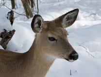 Cerfs communs de daine de Whitetail Image libre de droits