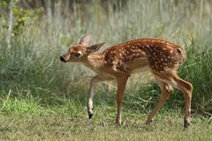 Cerfs communs de faon de Whitetail Photo stock