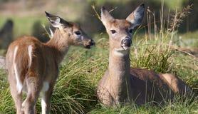 Cerfs communs de faon et de mère pendant l'été image libre de droits