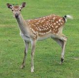 Cerfs communs de faon repérés par jeunes Images stock