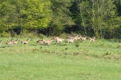 Cerfs communs de faune sur le pré Photo stock