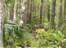 Cerfs communs de HDR dans la forêt Photographie stock