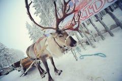 Cerfs communs de la Laponie Photo stock