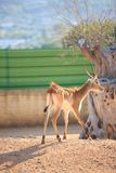 Cerfs communs de Lechwe d'appartements de Kafue photo stock