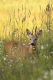 Cerfs communs de mâle dans une clairière Photographie stock libre de droits