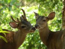 Cerfs communs de mâle et de daine Images stock