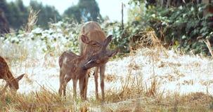 Cerfs communs de mère et faon de bébé, portrait animal dans le pré herbeux d'été banque de vidéos