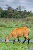 Cerfs communs de marais en Esteros del Ibera Images libres de droits