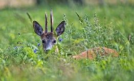 Cerfs communs de mâle cachés dans l'herbe Photo stock
