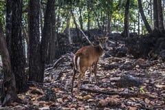 Cerfs communs de Mujac Image libre de droits