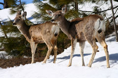 Cerfs communs de mule 1 Photo stock