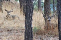 Cerfs communs de mule Photo stock