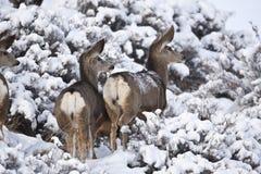 Cerfs communs de mule Images stock