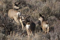 Cerfs communs de mule Image libre de droits