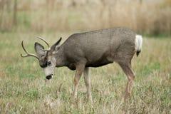 Cerfs communs de mule photos stock