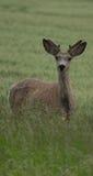 Cerfs communs de mule Photographie stock libre de droits