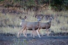 Cerfs communs de mule avec des jeunes Image stock
