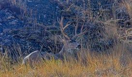 Cerfs communs de mule Buck Lying Down photographie stock libre de droits