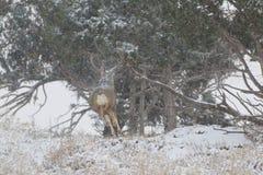 Cerfs communs de mule Buck Running dans la tempête de neige photos stock