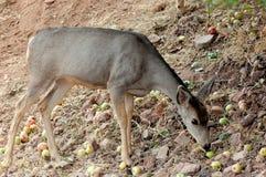 Cerfs communs de mule, daine Photographie stock