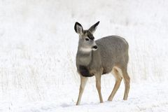 Cerfs communs de mule dans la neige Image libre de droits