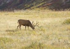 Cerfs communs de mule dans le pré Photos stock