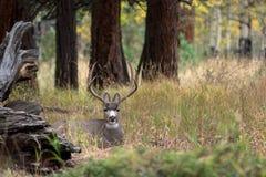 Cerfs communs de mule dans le tremble photo stock