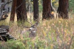 Cerfs communs de mule dans le tremble images stock
