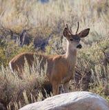 Cerfs communs de mule de Young Buck Photos stock