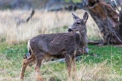 Cerfs communs de mule en Utah Photos libres de droits